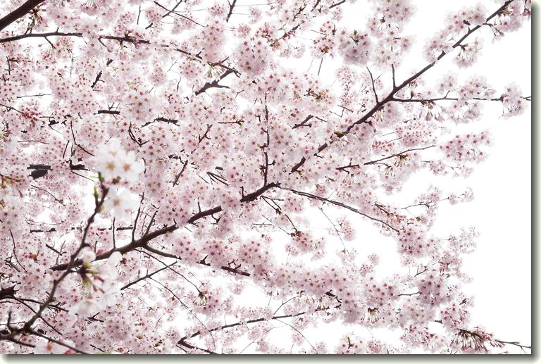 170408_Yabashira_sakura_0.jpg