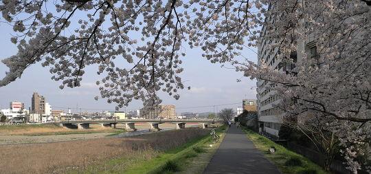 Sakura2010_0.jpg