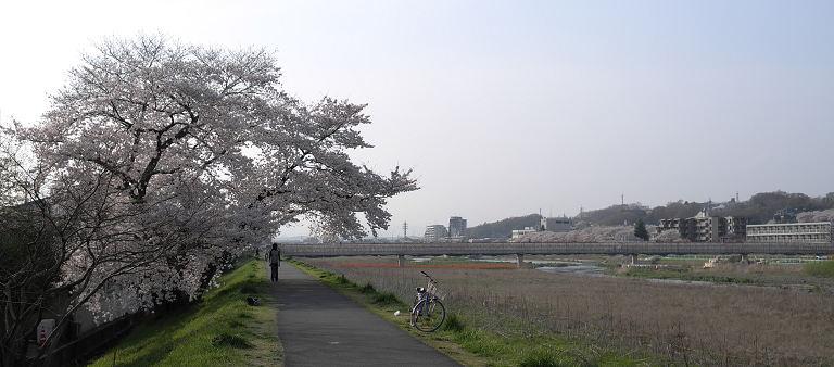 Sakura2010_3.jpg