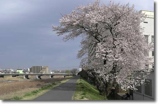 Sakura2011_0.jpg
