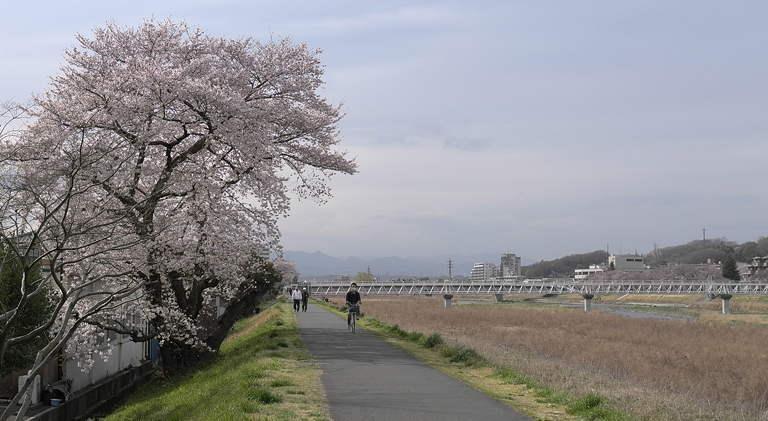 Sakura2011_2.jpg
