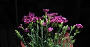 carnation_1.jpg