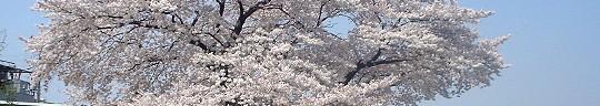 sakura_050410_0.jpg