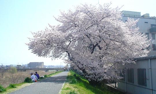 sakura_050410_3.jpg