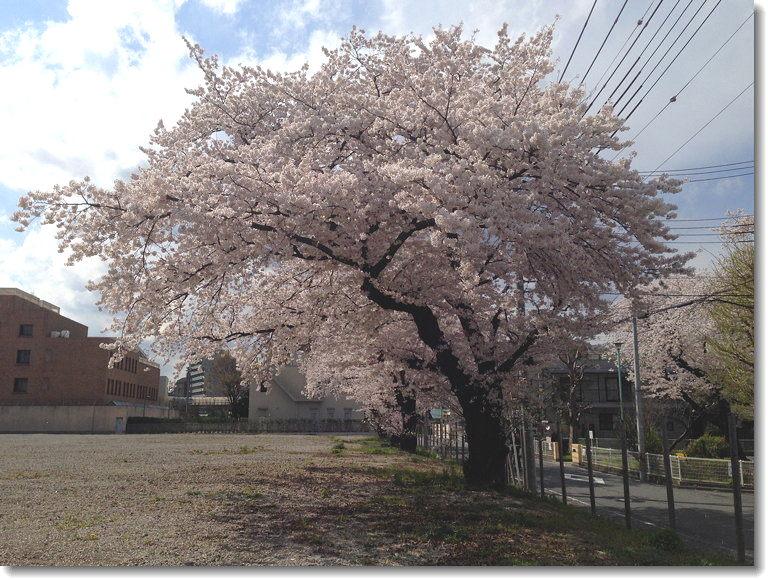 sakura_140405_0.jpg