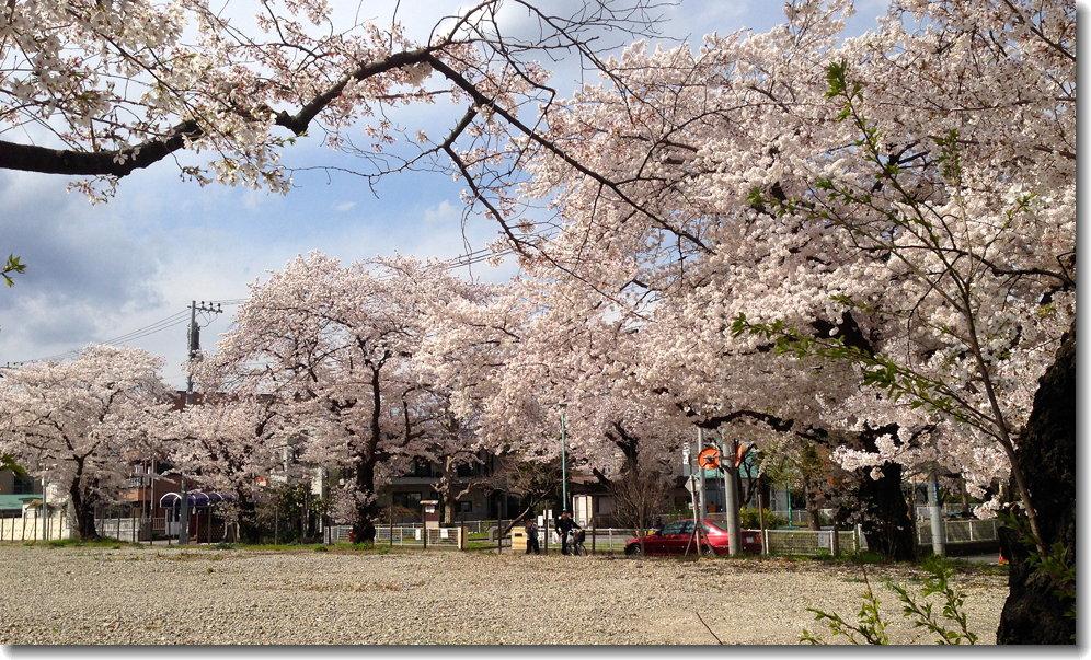 sakura_140405_1.jpg