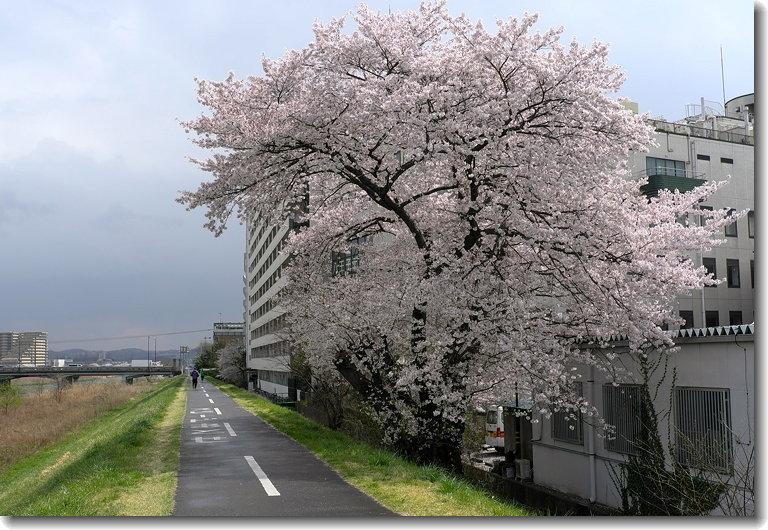 sakura_140406_1.jpg